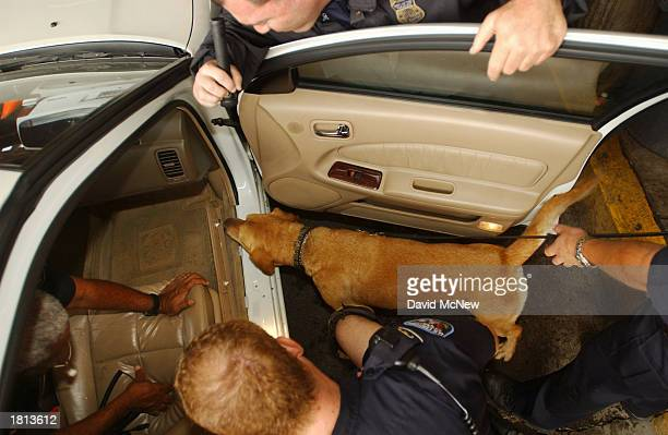Spenser a drugsniffing yellow lab looks and sniffs as US Customs inspectors investigate hiding places inside a car entering the US from Mexico that...