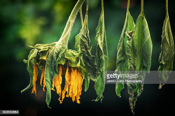 spent sunflower - depression sadness stock pictures, royalty-free photos & images