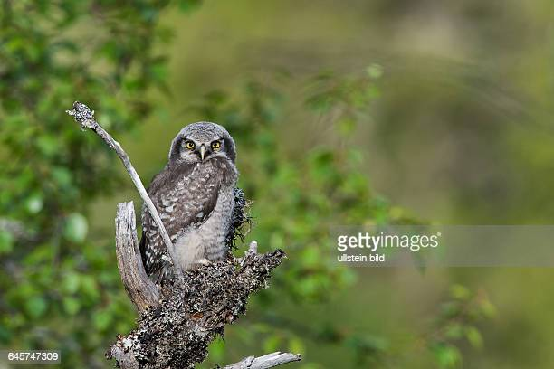 Sperbereule Hawk Owl juv