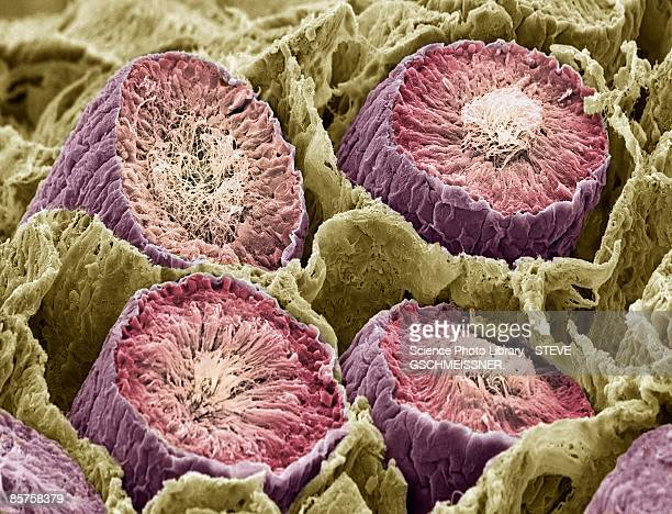sperm production. scanning electron microscope (sem) - testis stock photos and pictures