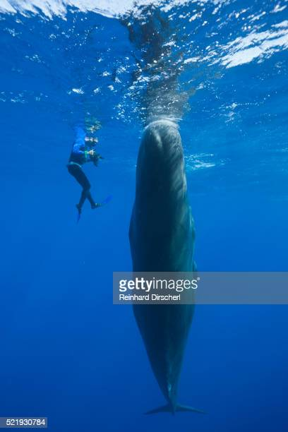 Sperm Whale and a skin diver photographer (Physeter macrocephalus)