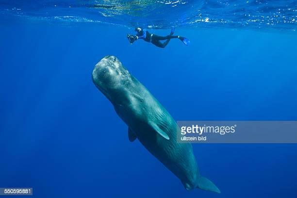 Sperm Whale and Skin diver Physeter macrocephalus Caribbean Sea Dominica