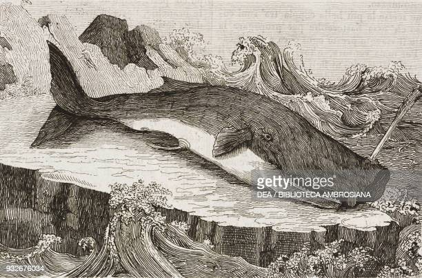 Sperm whale beached on shore engraving from L'album giornale letterario e di belle arti September 7 Year 6