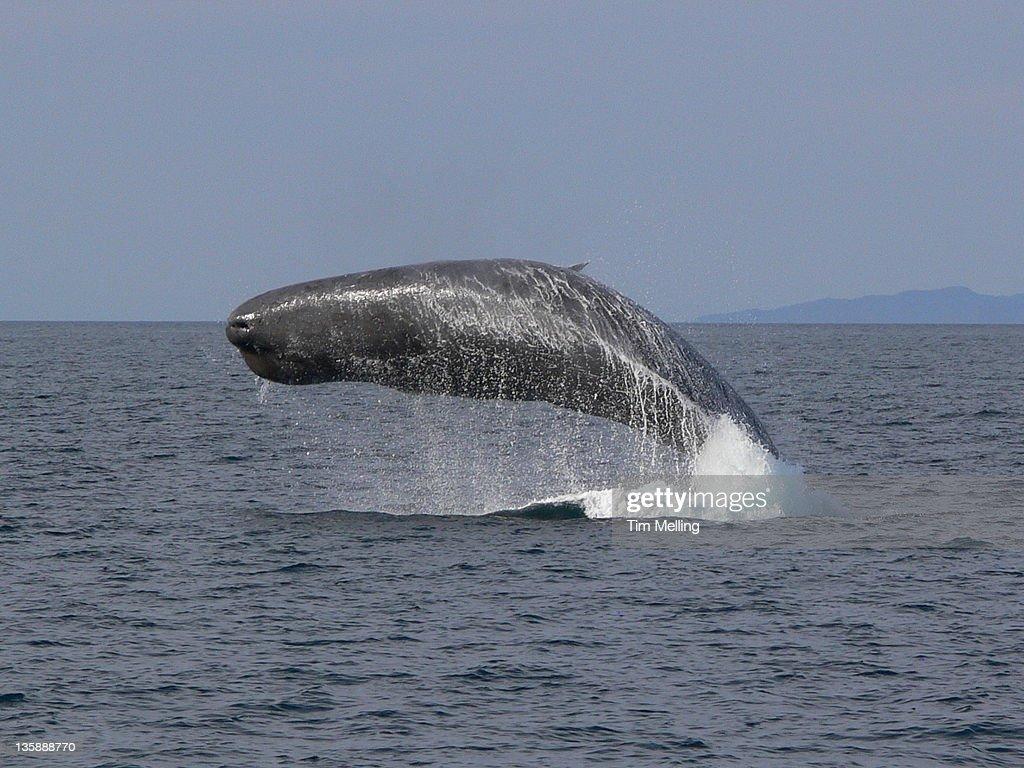 Sperm whale breaching (Physeter catodon) : Stock Photo