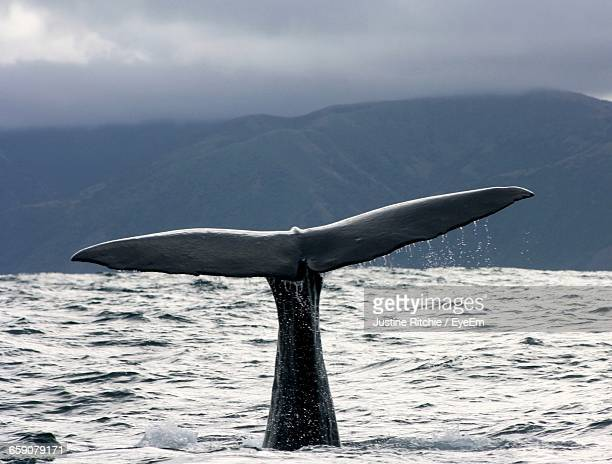 Sperm Whale Diving Into Sea Against Mountain