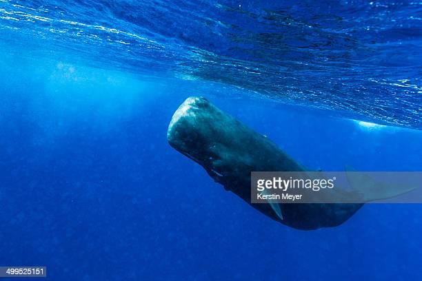 sperm whale in bubbles