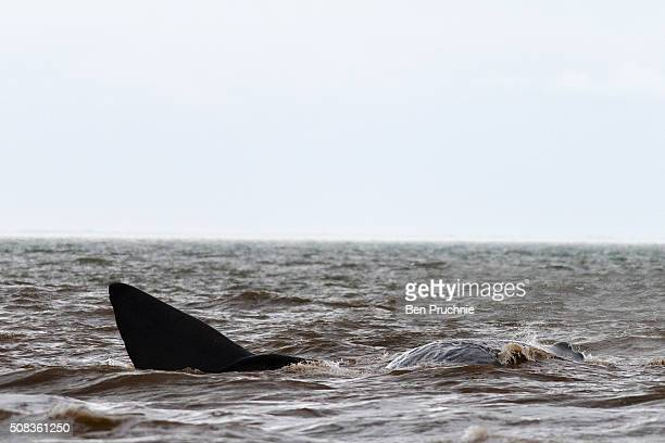 A sperm whale is stranded on a beach between Old Hunstanton and Holme on February 4 2016 in Hunstanton England