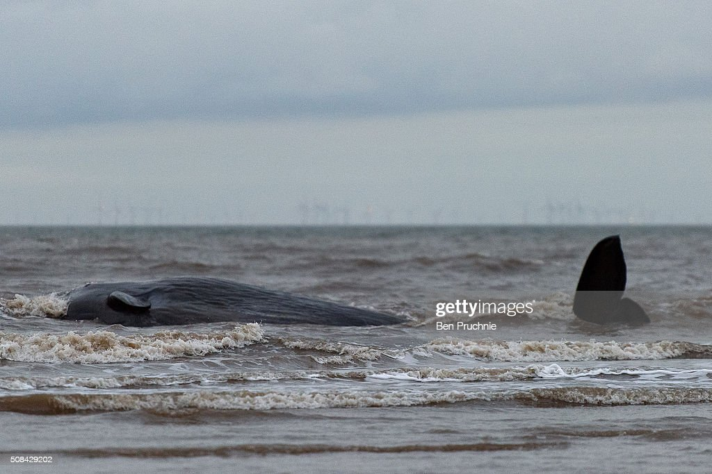 Sperm Whale Beaches At Hunstanton : News Photo