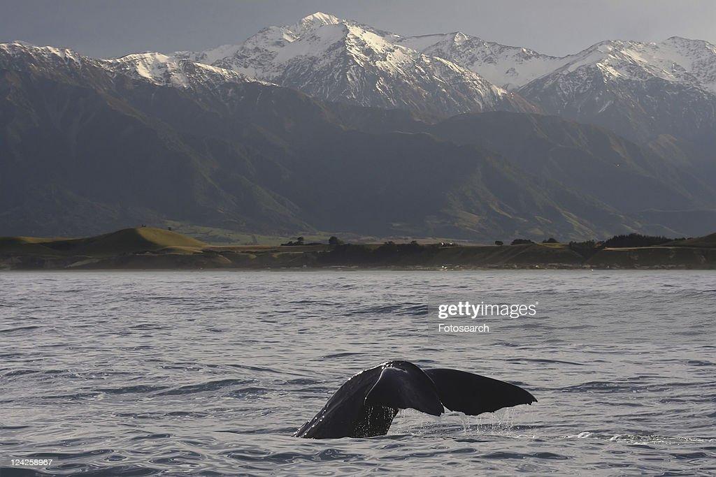 Sperm whale (Physeter macrocephalus). Kaikoura, South Island, New Zealand : Stock Photo