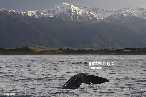 Sperm whale (Physeter macrocephalus). Kaikoura, South Island, New Zealand