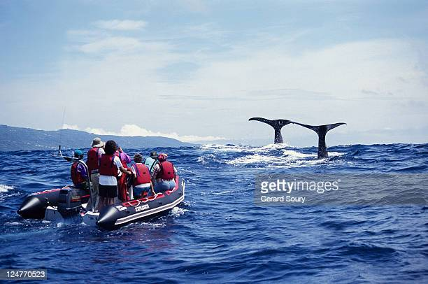 sperm whale, physeter catodon, about to dive, azores, portugal