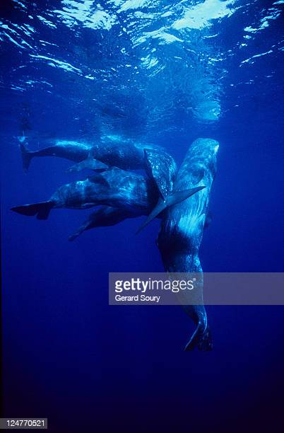 sperm whale, physeter catodon, protecting calf, azores, portugal