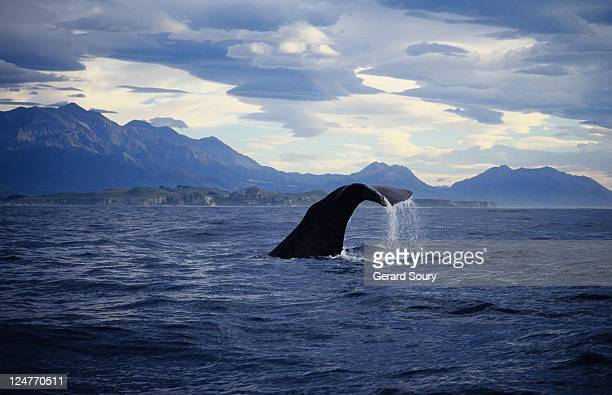 sperm whale, physeter catodon, raising flukes, south island, new zealand