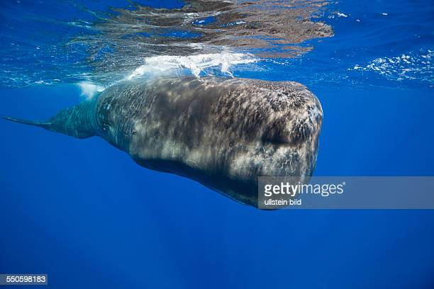 Sperm Whale Physeter macrocephalus Tenerife Canary Islands Spain