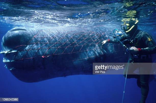 Sperm whale, Physeter macrocephalus, trapped in fishing net.
