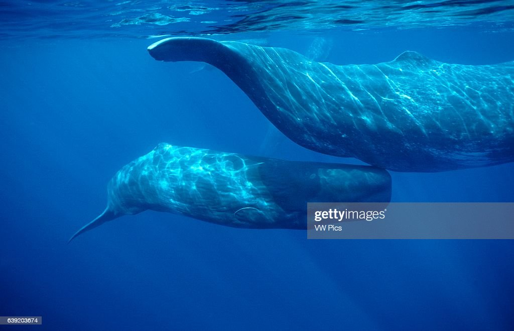 Sperm Whale : News Photo