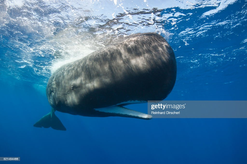 Sperm Whale (Physeter macrocephalus) : Stock Photo