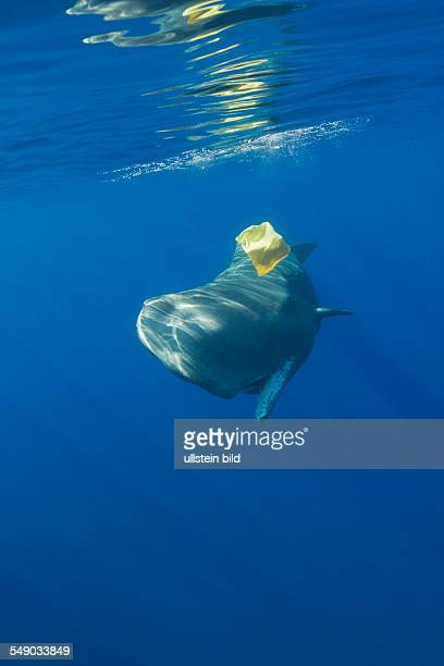 Sperm Whale plays with Plastic Waste Physeter catodon Azores Atlantic Ocean Portugal