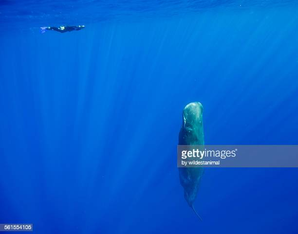 Sperm Whale Sleeps
