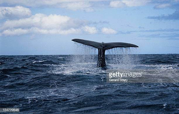 sperm whale,physeter macrocephalus, about to dive, azores, portugal