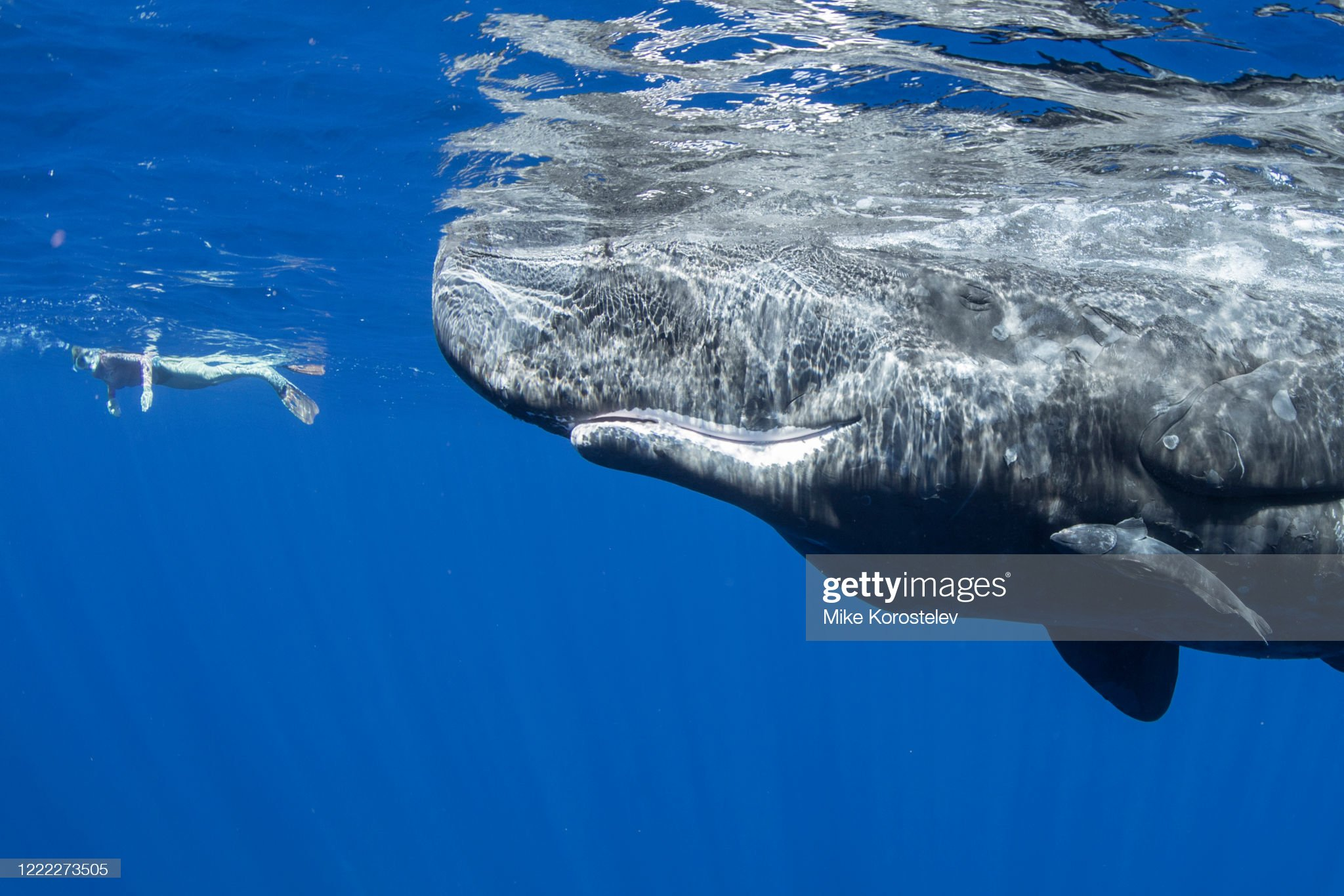 Sperm whales : Stock Photo