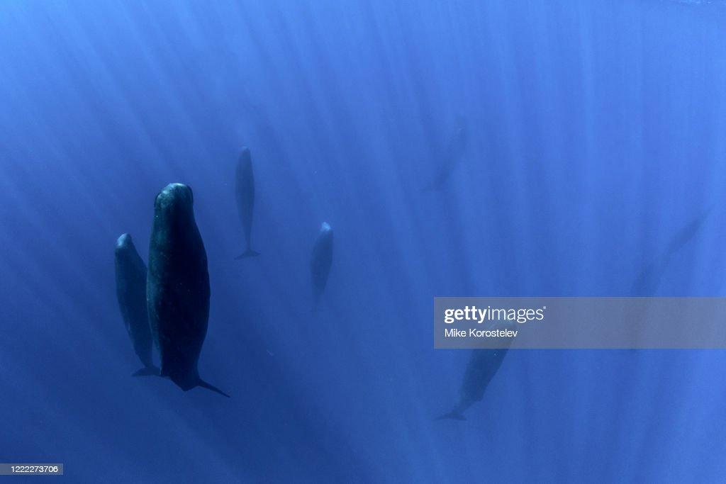 Sperm whales : Stock Photo