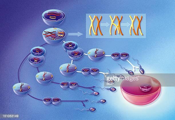 Spermatozoon Formation