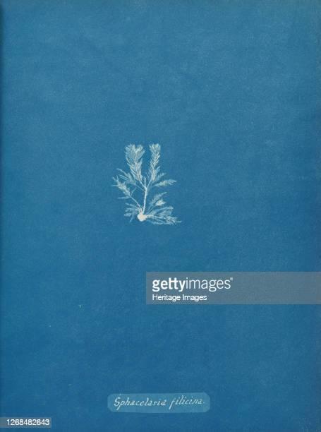 Sphacelaria filicina circa 1853 Artist Anna Atkins