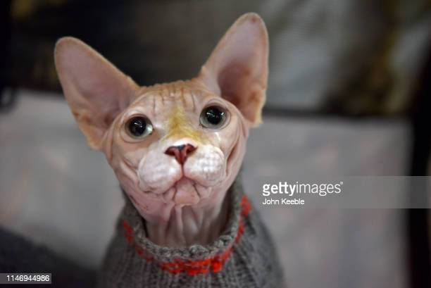 Sphynx breed cat wearing a jumper attends the LondonCats International Show and Expo at Tabacco dock on May 04 2019 in London England LondonCats is...