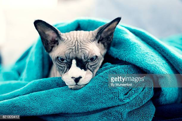 sphynx cat chilling under a blue blanket on the couch