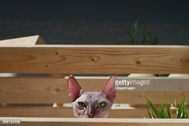sphynx cat in box - cliqueimages stockfoto's en -beelden