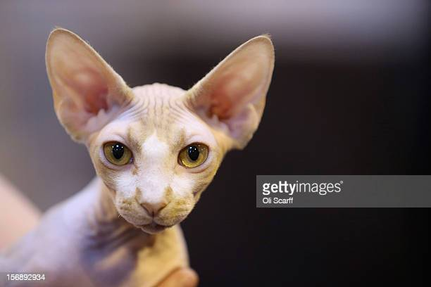 A sphynx cat is held at the Governing Council of the Cat Fancy's 'Supreme Championship Cat Show' held in the NEC on November 24 2012 in Birmingham...