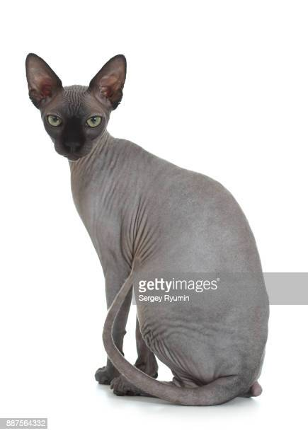 sphynx cat on a white background - sphynx hairless cat stock photos and pictures
