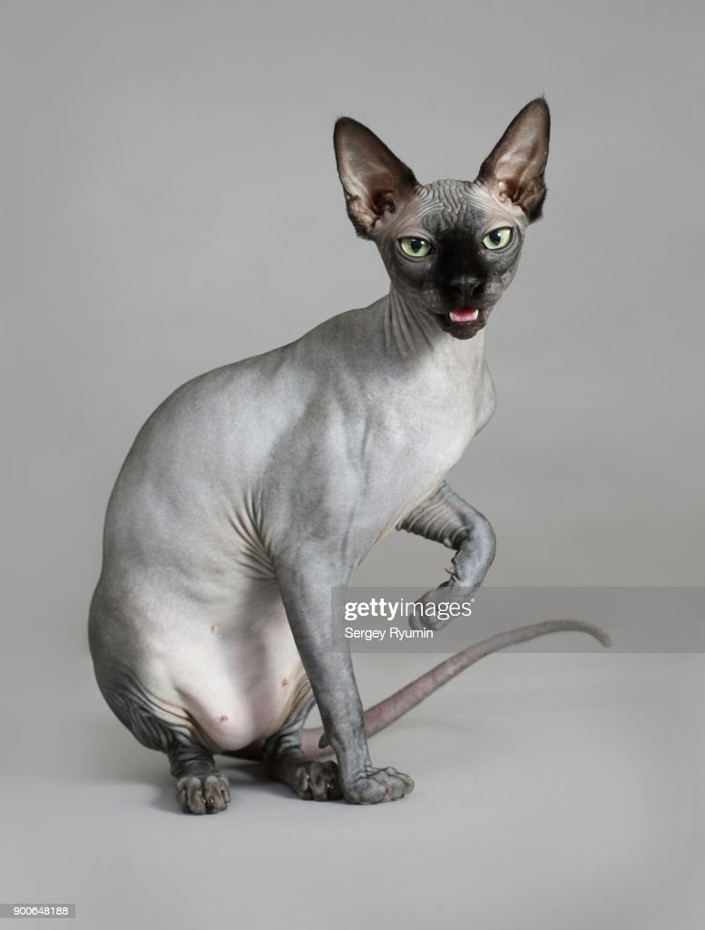 Sphynx cat on gray background. : Stock Photo
