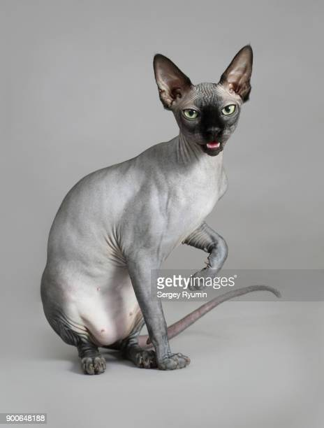 sphynx cat on gray background. - carnivora stock pictures, royalty-free photos & images