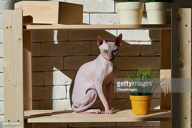 sphynx cat on shelf - cliqueimages stock pictures, royalty-free photos & images