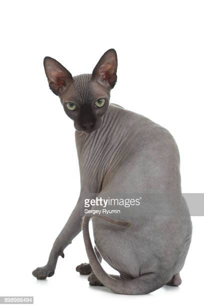 sphynx cat on white. - sphynx hairless cat stock photos and pictures