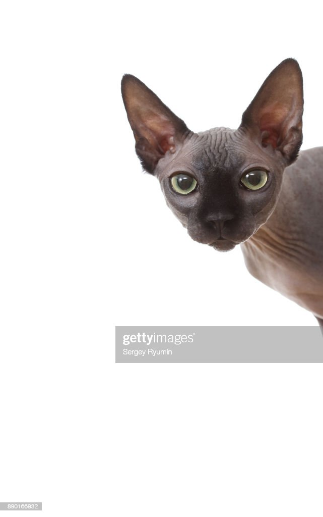 Sphynx cat peeks around the corner. : Stock Photo