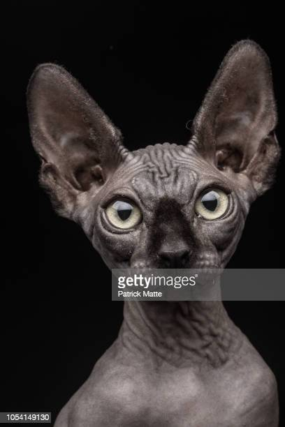 sphynx cat - domestic animals stock photos and pictures