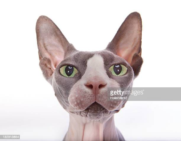 sphynx cat - sphynx hairless cat stock photos and pictures
