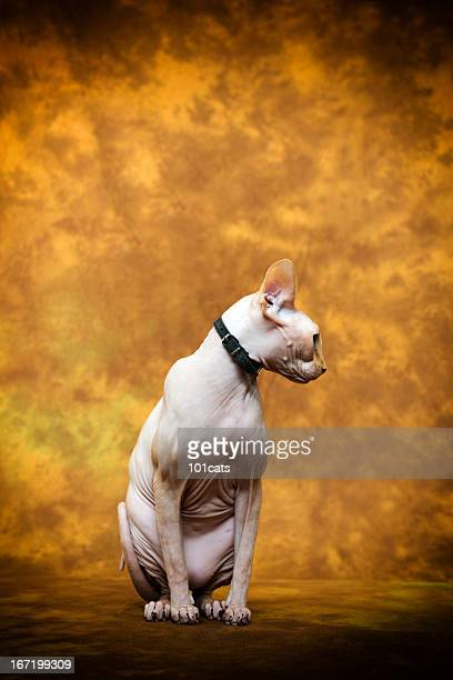 sphynx cat - ugly cat stock photos and pictures