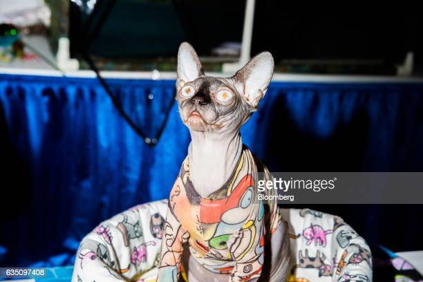 A Sphynx cat sits for a photograph during the annual Meet the Breed event ahead of the 141st Westminster Kennel Club Dog Show in New York US on...