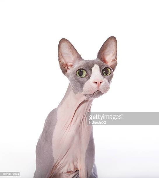 sphynx cat with surprised expression - sphynx hairless cat stock photos and pictures