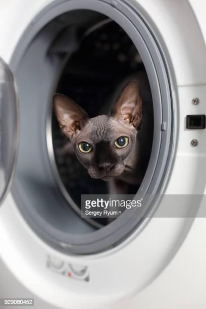 Sphynx hairless cat in a washing machine