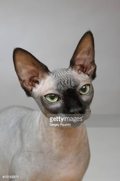 sphynx hairless cat on gray background. - sphynx hairless cat stock photos and pictures