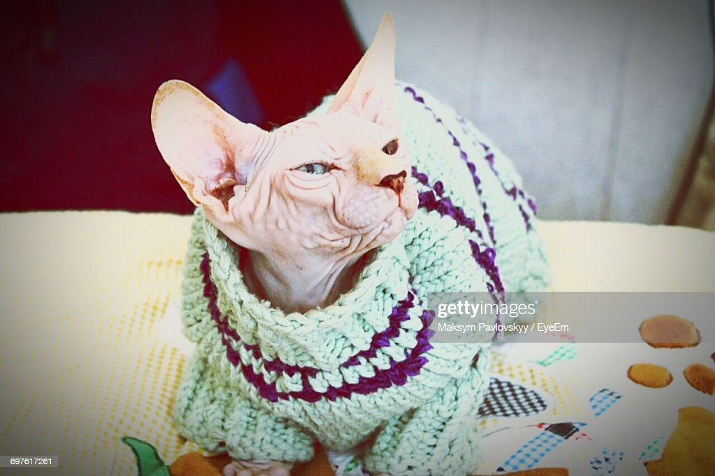 Sphynx Hairless Cat Wearing Sweater Sitting On Table Stock Photo