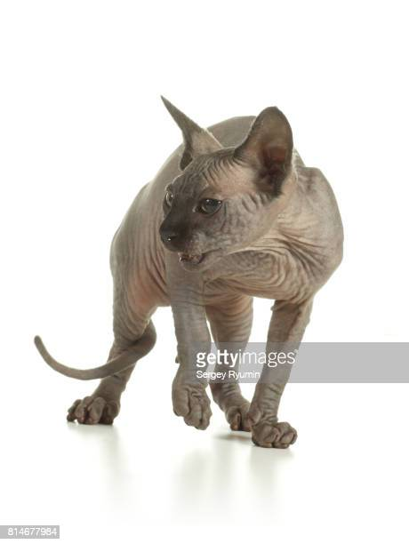 Sphynx kitten on white background.