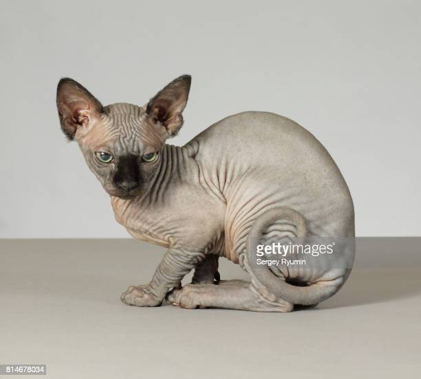 sphynx kitten. - sphynx hairless cat stock photos and pictures