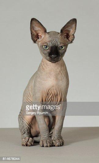 Österreich kaufen sphynx katze Sphynx Kätzchen