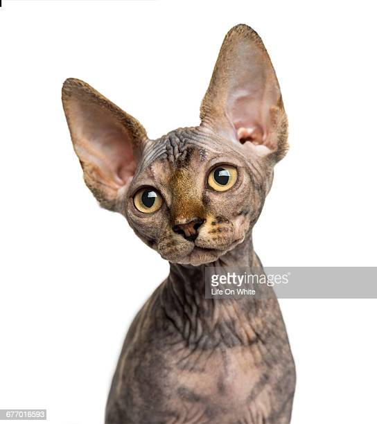 sphynx kitten sitting isolated on white - sphynx hairless cat stock photos and pictures